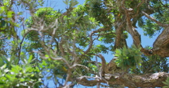 Close up of Pohutukawa tree leaves in Northland, New Zealand Stock Footage