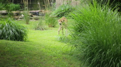 Cheetah stalking prey as it takes cover behind tall grass - stock footage
