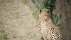 Cheetah pacing back and forth - stock footage