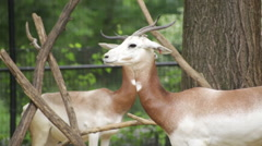 The endangered scimitar-horned oryx Stock Footage