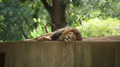 A tired lion lying down rolls over to stretch - stock footage