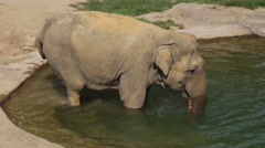 Asian Elephant walking into water to cool off and get clean - stock footage