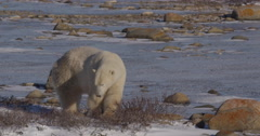 Close on polar bear biting snow along rocky and icy shore in beautiful light Stock Footage