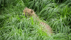 Cheetah resting in lush and tall green grass flipping tail and yawning - stock footage