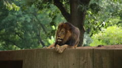 A tired lion lying down puts its face onto its paws - stock footage
