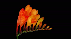 Time-lapse of opening orange freesia in RGB + ALPHA matte format Stock Footage
