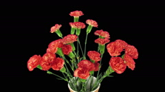Time-lapse of opening red Dianthus flower in RGB + ALPHA matte format Stock Footage