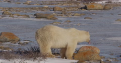 Polar bear sits down on icy shore near rocks and willows Stock Footage