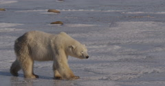 Young polar bear walks on ice to shore towards afternoon sun Stock Footage