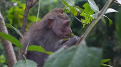 Cute Macaque in Monkey Forest Stock Footage