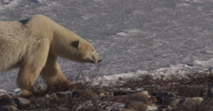 Polar bear in low light walks across ice to shore and stops to sniff the air Stock Footage