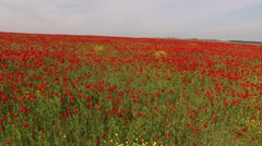 Poppy Field As Symbol Of Remembrance Stock Footage