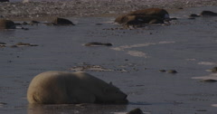 Medium on polar bear sleeping on sea ice for afternoon nap Stock Footage