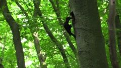 Black woodpecker (Dryocopus martius) feeding babies (no color grading) Stock Footage