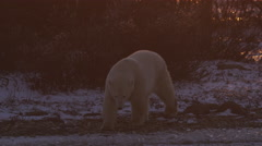 Polar bear walking in shadow across broken ice in orange light of sunset Stock Footage