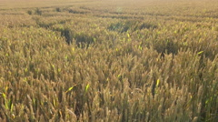 Large view of big wheat field - sunny summer day - pan Stock Footage
