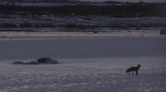 Red fox on frozen pond stops to look around then trots off after sunset Stock Footage
