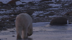 Zoom into paws of polar bear walking away across ice after sunset Stock Footage