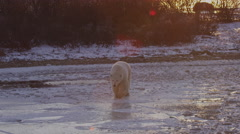 Lens flare at sunset as polar bear walks across broken ice of frozen pond Stock Footage