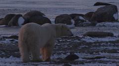 Close on polar bear walking in purple light of dusk Stock Footage