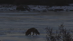 Red fox ventures out onto frozen pond zoom out to show it looking at polar bear Stock Footage