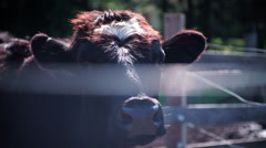 Cow Looking At Camera Through Fence Stock Footage