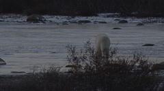 Polar bear licking ice in dusk light on frozen pond Stock Footage