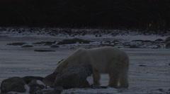 Polar bear sniffs around boulders and walks onto frozen pond in darkening night Stock Footage