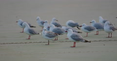 Close up of seaguls in the water at sunset on Maitai bay, Northland, New Zealand Stock Footage