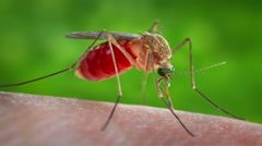 4K (2160) Mosquito on skin sucking blood (Zika, malaria, West Nile Virus) Stock Footage