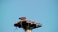 Osprey or Sea Hawk on nest - stock footage