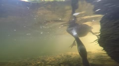 Duck close up feeding off river bottom Stock Footage