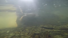 Duck close up feeding under water Stock Footage
