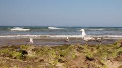 Seagulls on the rocks on the ocean beach Stock Footage