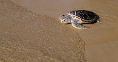 Tortoise is going into the sea on the sand beach Stock Photos
