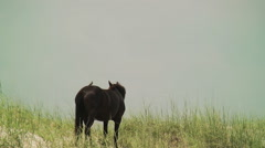 Wild black mare runs down the dunes with birds - stock footage