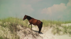 Wild stallion and mare disappear over the dunes Stock Footage