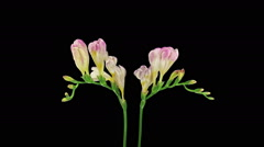 Time-lapse of opening pink freesia in RGB + ALPHA matte format Stock Footage