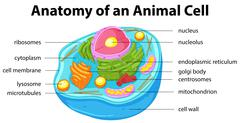 Diagram showing anatomy of animal cell Stock Illustration