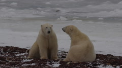 Slow motion - sitting polar bears stand and tackle on icy shore of sea Stock Footage