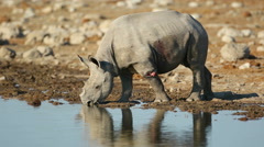 Black rhinoceros drinking water, Etosha National Park, Namibia Stock Footage