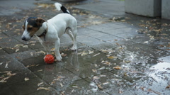 Dog drinks water from puddles Stock Footage