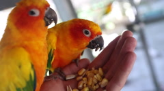 Beautiful parrot sun conure tropical island eating from hands Stock Footage