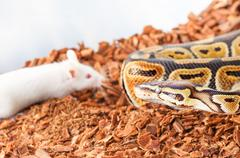 Royal or Ball python hunting for a white mouse Stock Photos