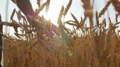 Field of ripe grain and man's hand touching wheat in summer field at sunset Stock Footage