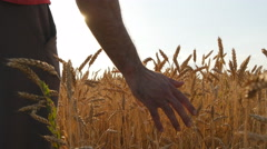 Male hand moving over wheat growing on the field. Stock Footage