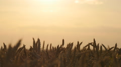 Golden ripe ears of wheat against the sky. Organic food at farm Stock Footage
