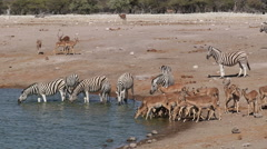 Plains zebras and impala antelopes, Etosha National Park, Namibia Stock Footage