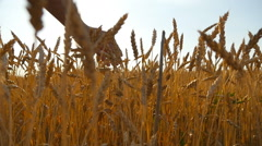Young man running through wheat field, rear view.  Slow mo Stock Footage