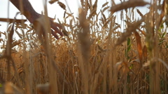 Male hand moving over wheat growing on the field. Slow mo Stock Footage